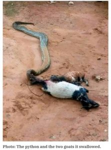Killing Of Python: Alvan Ikoku College Asked To Cleanse The Land (Photo)